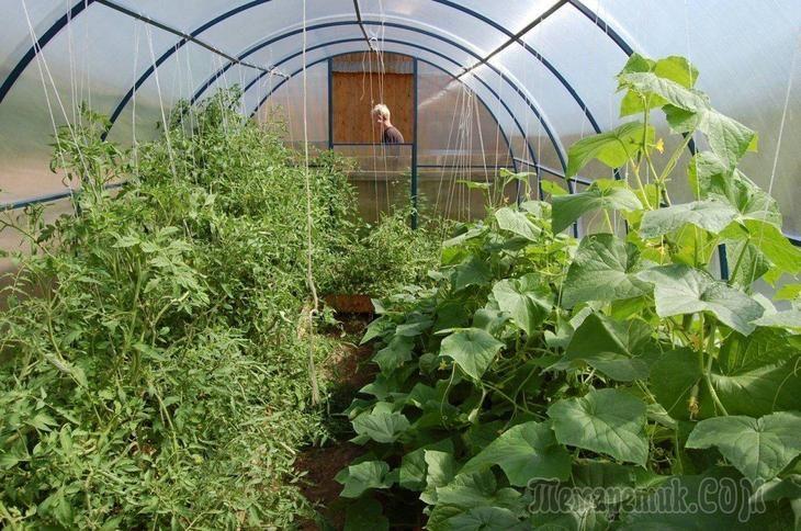 Что можно посадить в теплице после уборки урожая