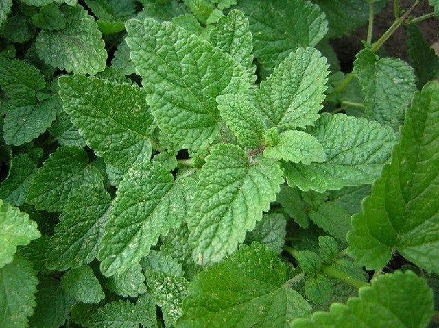 Какие лекарственные травы можно выращивать на подоконнике?