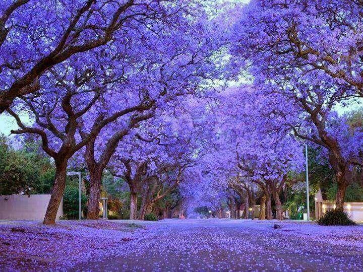15 самых красиво цветущих деревьев планеты  Блог Три и ночка