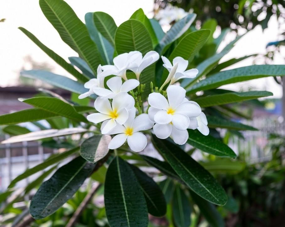 Цветок Плюмерия: уход в домашних условиях, фото, выращивание из семян