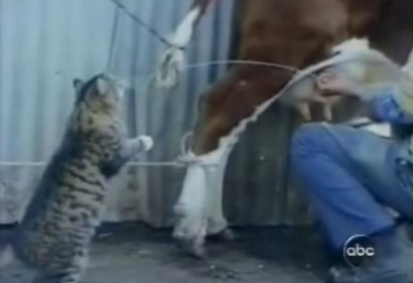 кот пьет молоко из под коровы гиф павелецкого