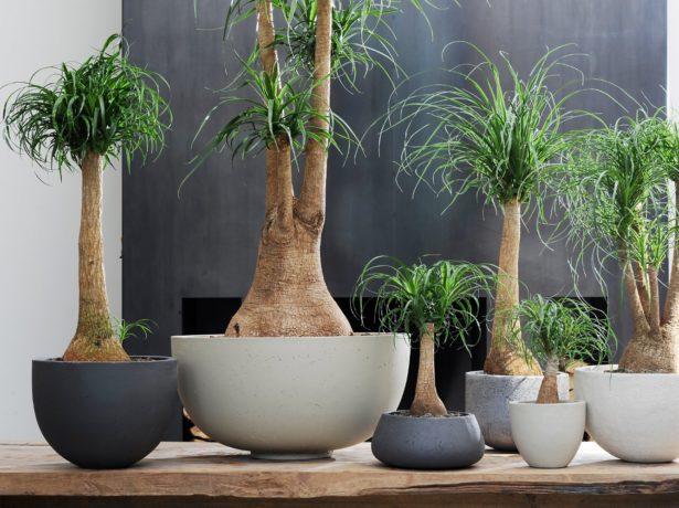 фото бутылочная пальма