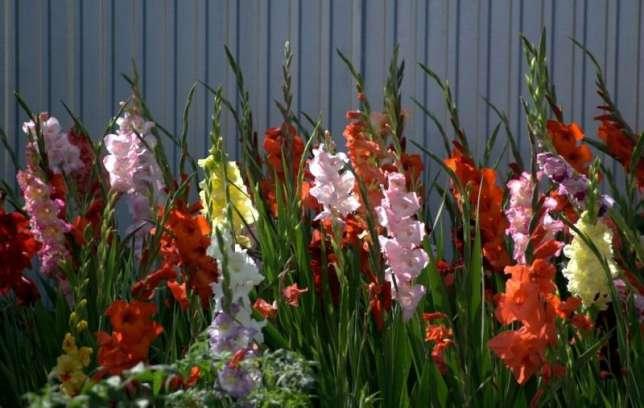 Цветущие в июле-августе цветы