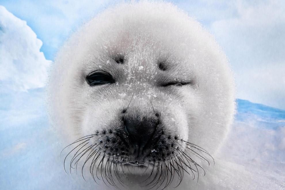 baby white seal