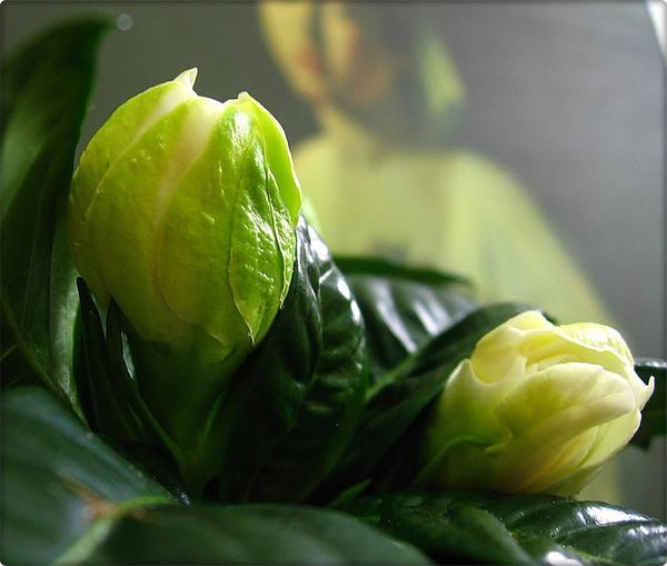Цветы гибискус фото описание видов и сортов уход и