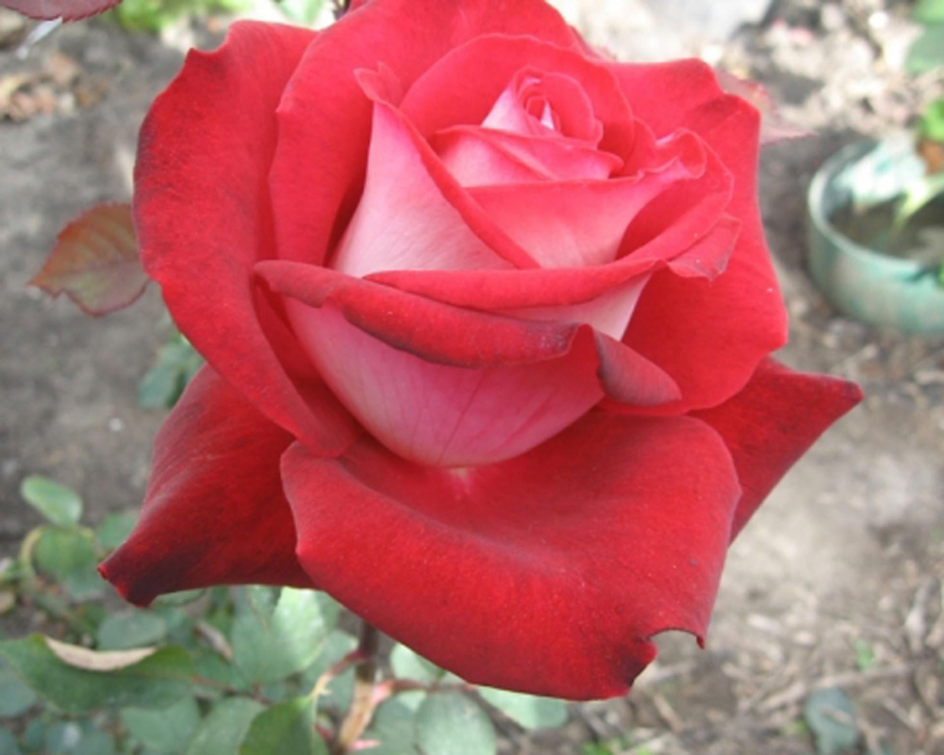 исключительно возле роза николь фото и описание кованых ворот